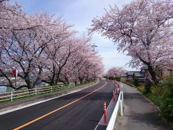 Row of Cherry Trees in Nabeta Riverbank