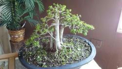 Central Texas Bonsai Exhibit at Jade Gardens