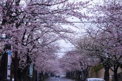 鎌倉逗子ハイランド 桜並木