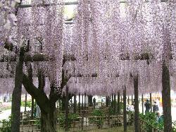 Kisai Fuji Matsuri