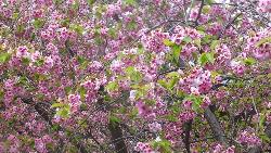 Matsumae Cherry Blossom Festival