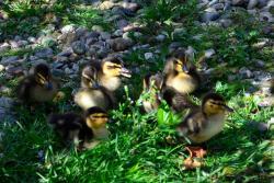 Rosaburn Ducks