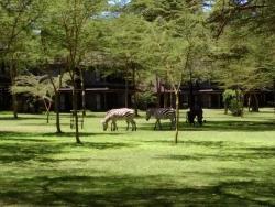 Zebras on hotel grounds