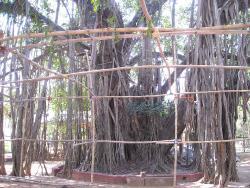 An old banyan tree