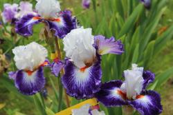 La Danse des Iris