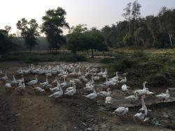 Goose farming adjacent to the resort