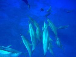 Dolphin-Dream
