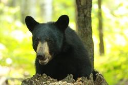 black bear in Killbear