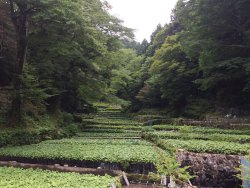 Wasabi Fields of Ikadaba