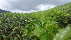 Alahan Panjang Tea Farm