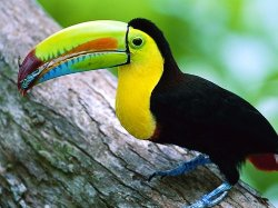 National Bird of Belize Keel or Kill Billed Toucan