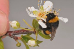 One of our bumblebees, hard at work...