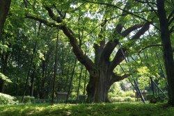 Bartek Oak Tree