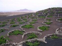 Original!vignes dans la lave des volcans