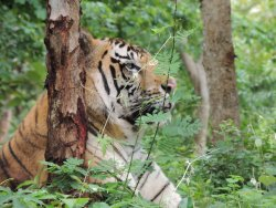 Tiger and Lion Safari, Shimoga