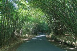 Penglipuran Bamboo Forest