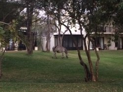 Afternoon tea and zebra grazing in the grounds