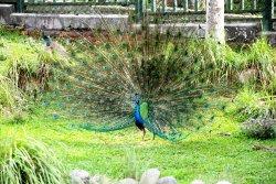 Sun Moon Lake Peacock Garden