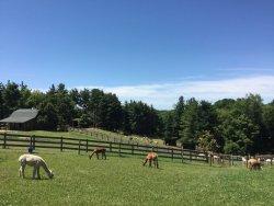 The Alpacas Of Spring Acres
