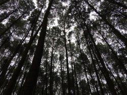 Hutan Pinus Bukit Becici