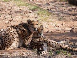 Ann van Dyk Cheetah Centre