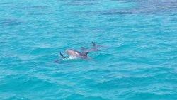 Delfin Schwimmen mit Bob Satey