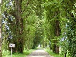 Poplars at Hokkaido University
