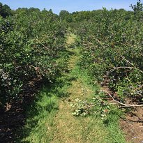 Krupka's Blueberry Plantation