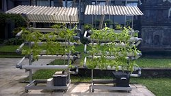 Growing part of its own lettuce with hydroponics