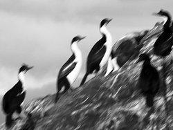 cormoranes reales