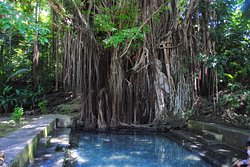 Old Enchanted Balete Tree