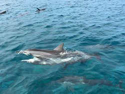 Dolphin Essence