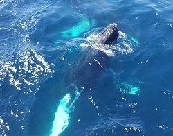 Humpback Whale Spyhop