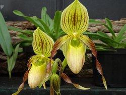venus-schoentjes orchidee