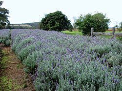 Pottique Lavender Farm