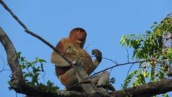 Proboscis monkey, Kinabatangan