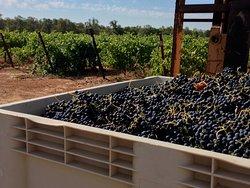 Whispering Oaks Vineyard
