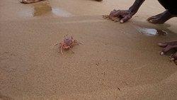 crabs seen @ Vodarevu, chirala