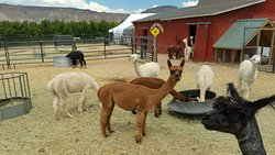 Suncrest Orchard Alpacas
