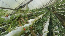 Kok Lim Strawberry Farm