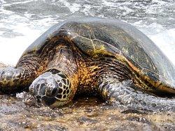Laniakea Beach