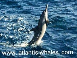 Atlantis Whales