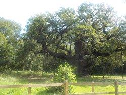 le vieux chêne de Robin des Bois