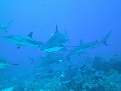 Great swimming with the sharks