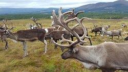 Cairngorm Reindeer Herd