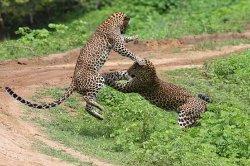 Nimesh Yala Safari