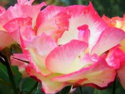 Joan Williamson Rose Garden