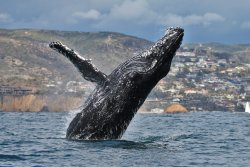 Newport Coastal Adventure Whale Watching
