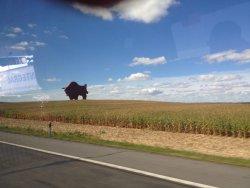 Bison on Route Brest - Minsk