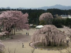 450 Years Old Cherry Blossom Tree